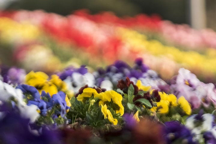 四本堂公園(長崎県西海市西彼町)の桜と花見
