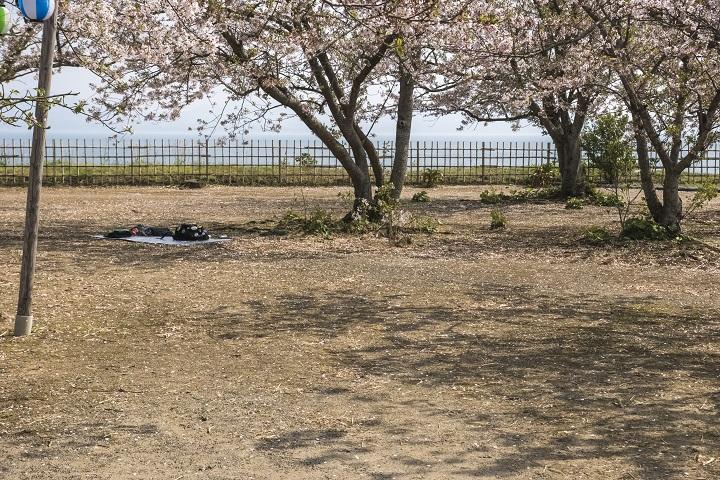 原城跡(南島原市・世界遺産)の桜と花見
