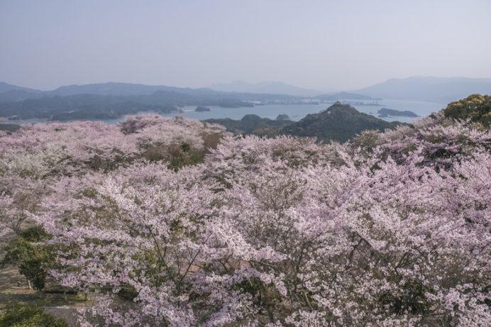 大山公園(松浦市福島)の桜と花見