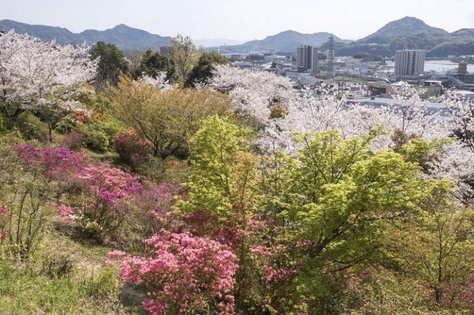尾崎公園(佐世保市早苗町)の桜と花見、つつじ(ツツジ)