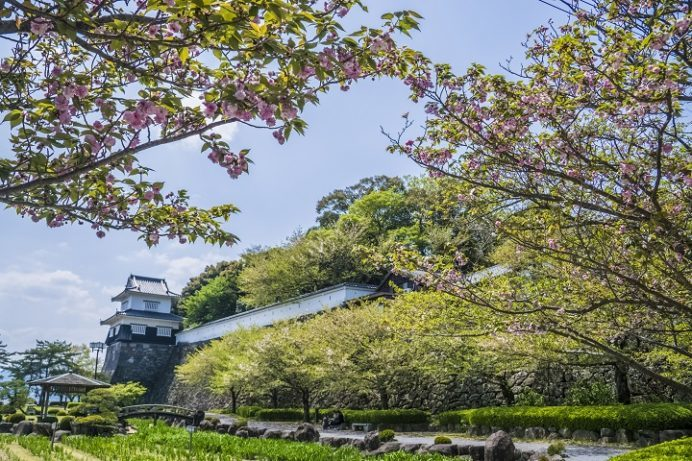 大村公園(長崎県大村市玖島)のオオムラザクラ