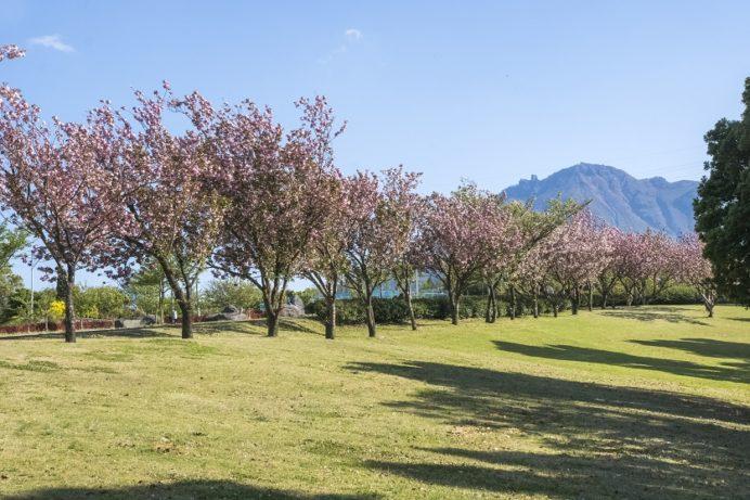 百花台公園(雲仙市国見町多比良)の八重桜