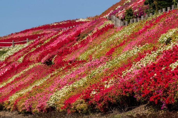 不老山総合公園(長崎県松浦市)のツツジ