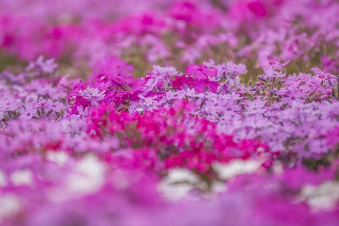 松本ツツジ園(長崎県大村市)の芝桜