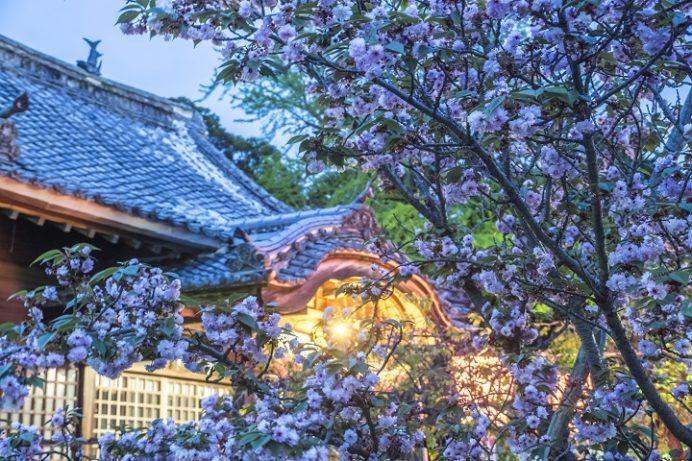 大村公園(長崎県大村市玖島)のオオムラザクラ、大村神社、ぼんぼり(ライトアップ)