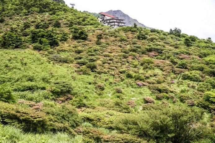 雲仙のミヤマキリシマ
