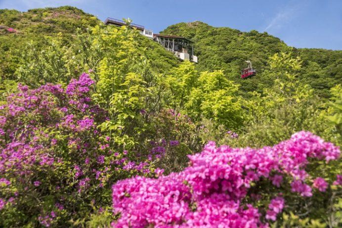雲仙岳登山道(長崎県)、妙見岳のミヤマキリシマ