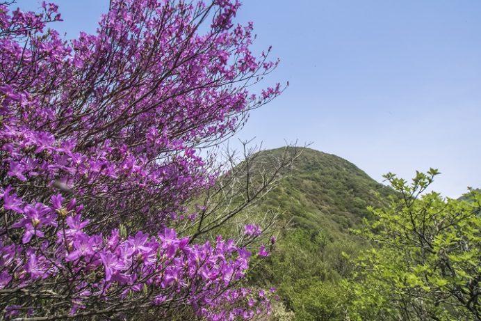 雲仙岳のミツバツツジ