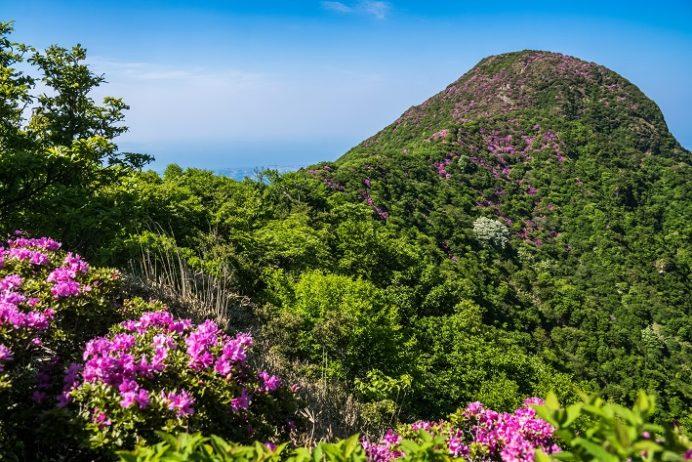 雲仙岳登山道(長崎県島原半島)、国見岳のミヤマキリシマ