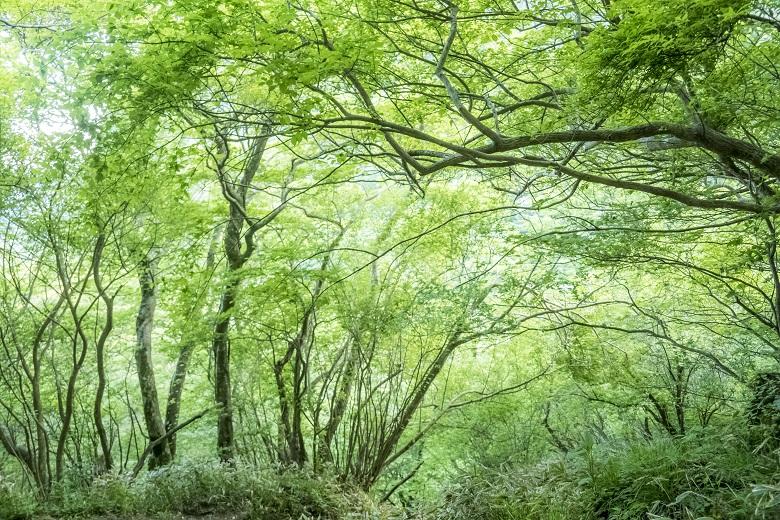 雲仙岳登山道(長崎県島原半島)、新登山道の新緑
