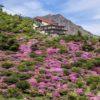 【今が満開2021!5月10日(月)更新】「雲仙 仁田峠のミヤマキリシマ」~世界規模のツツジ園