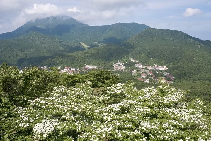 雲仙・仁田峠の雲仙・絹笠山のヤマボウシ