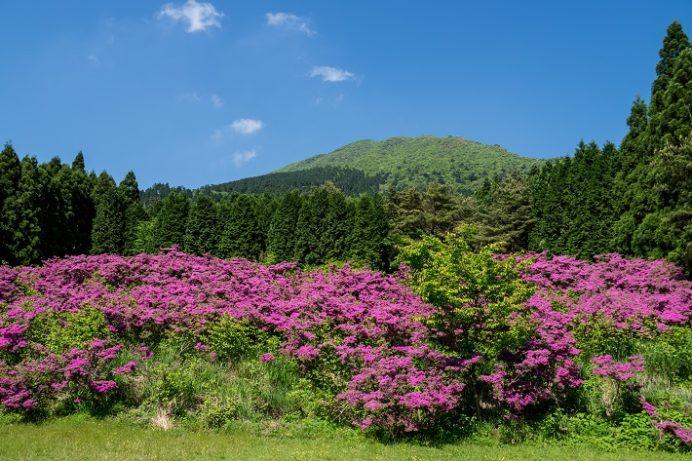 雲仙・池の原園地(長崎県)地の登山道、ツツジ広場