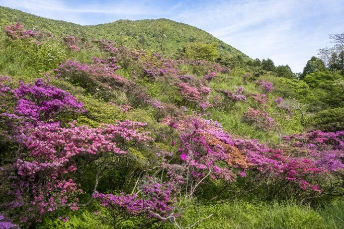 雲仙・池の原園地(長崎県)のミヤマキリシマ
