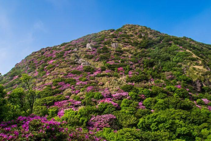 雲仙国見岳(長崎県島原半島)のミヤマキリシマ