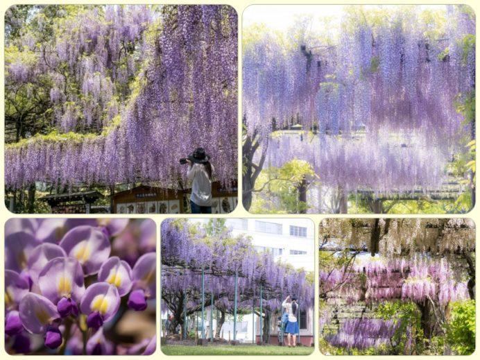【長崎県 藤棚の名所~ビック4】~心震える薄紫の大カーテン