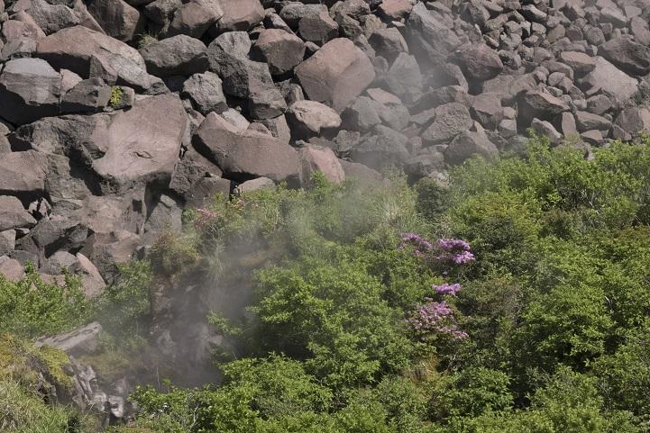 雲仙岳登山道(長崎県島原半島)、立岩の峰のミヤマキリシマ