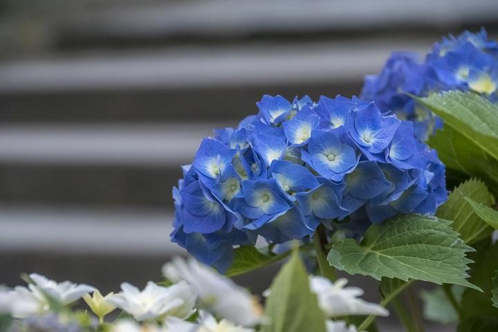 ながさき紫陽花(おたくさ)まつりの中島川・眼鏡橋会場(長崎市)