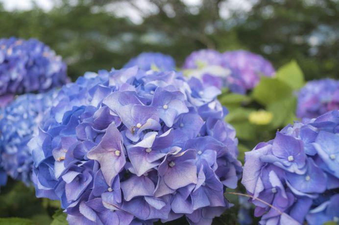 神ノ島公園(長崎市)のあじさい