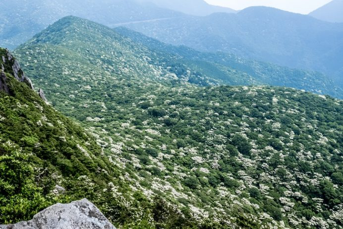 雲仙岳(長崎県島原半島)のヤマボウシ