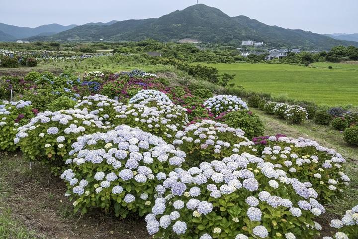 「魚津ヶ崎公園のあじさい」は【五島最大・最強!】見頃、見どころを解説