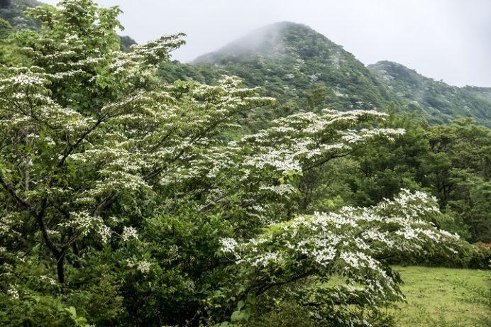 雲仙(長崎県島原半島)のヤマボウシ、田代原・吾妻岳山腹
