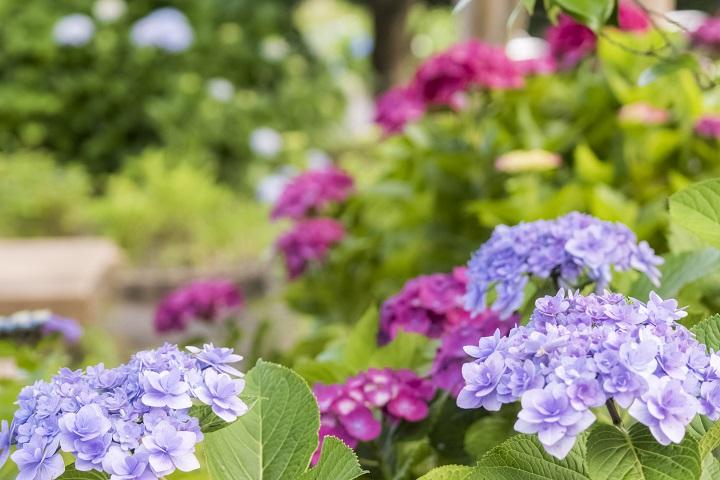 「神ノ島公園のあじさい」【長崎市郊外の穴場SPOT】~地植えモリモリ
