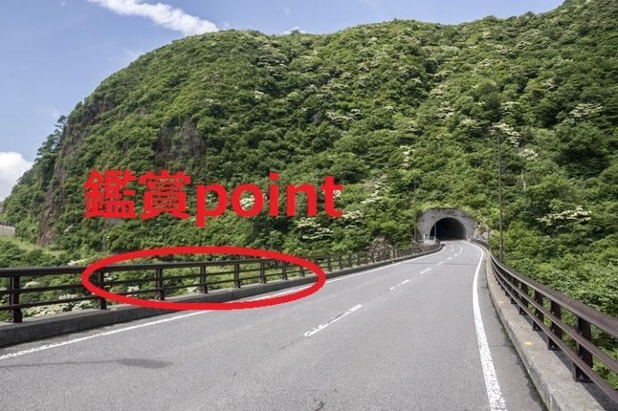 雲仙岳(長崎県島原半島)のヤマボウシ、池の原周辺(国道389号線沿い)石割山