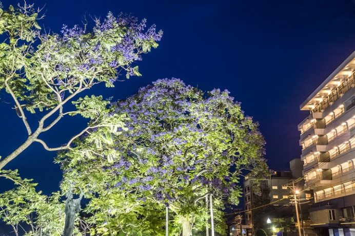 小浜温泉(長崎県雲仙市)のジャカランダ、夜間ライトアップ