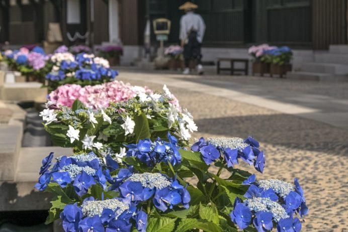 出島(出島和蘭商館跡)のながさき紫陽花まつり
