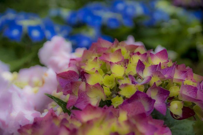 シーボルト記念館(長崎市鳴滝)、ながさき紫陽花まつり