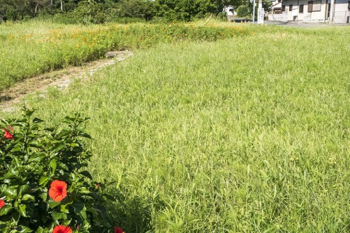 香焼安保地区(長崎市)のひまわり畑