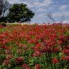 【2021年/見頃はいつ?】「鉢巻山の彼岸花」~キレイな写真ともに解説!(大村市)