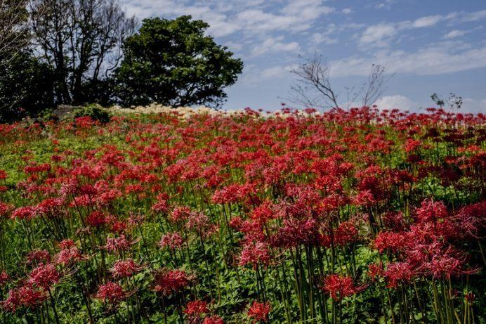 鉢巻山(長崎県大村市)のヒガンバナ(彼岸花)