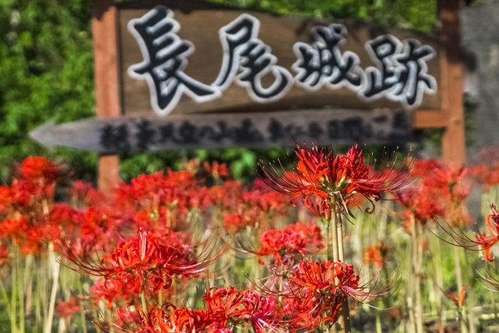 長尾城跡公園(長崎県西海市)の彼岸花(ヒガンバナ)