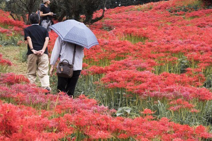 琴海戸根町、社が丘花園公園のヒガンバナ(彼岸花)、長崎市