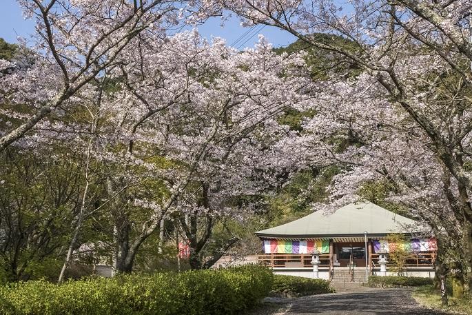 【満開はいつ?開花速報2021!】「御橋観音の桜」~県北の穴場花見SPOT