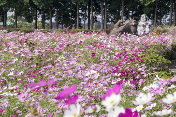有明の森フラワー公園(長崎県島原市有明町)のコスモス
