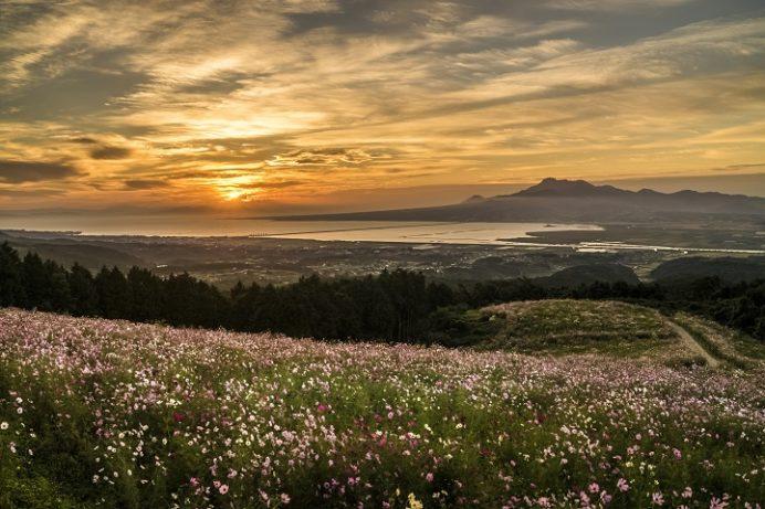 白木峰高原(長崎県諫早市)のコスモス、朝日