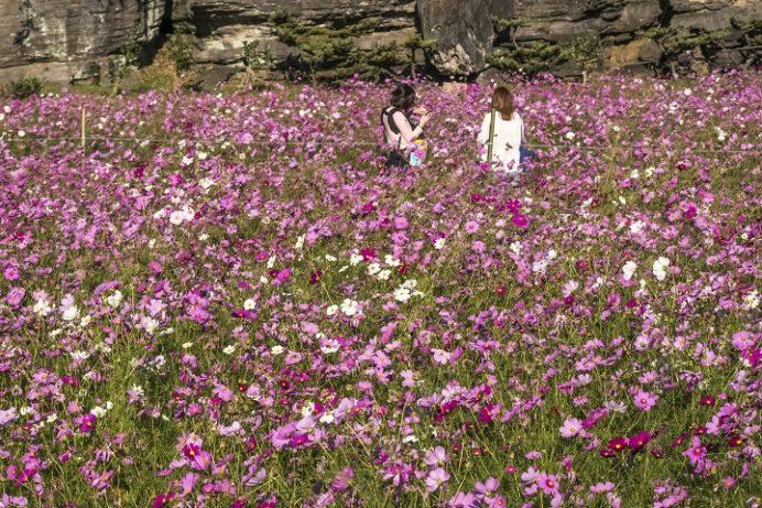 七ツ釜鍾乳洞公園(長崎県西海市)のコスモス
