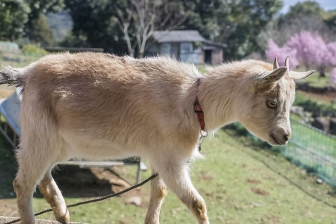 展海峰(長崎県佐世保市下船越町)のヤギ