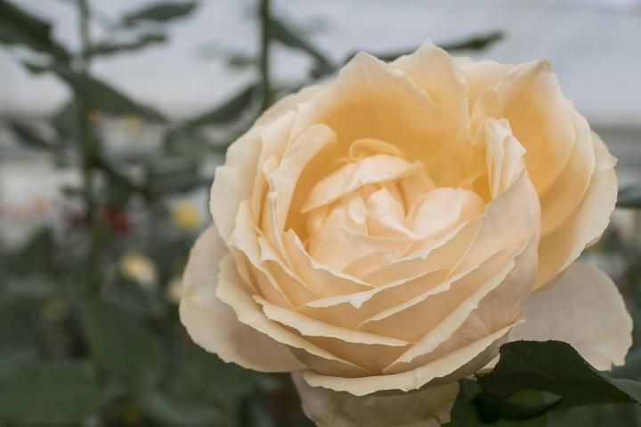 あぐりの丘(長崎市四杖町)の秋バラ