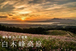 白木峰高原のコスモス【見頃速報2021】10月21日(木)更新