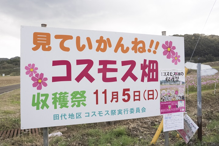 松浦市田代のコスモス畑