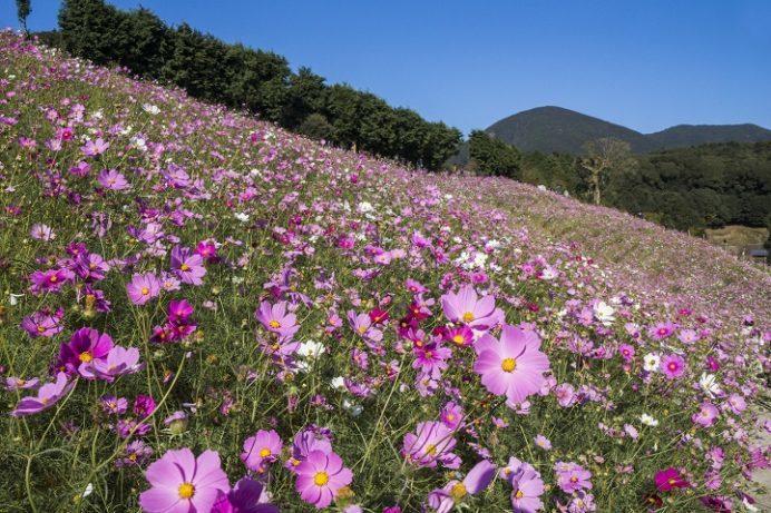 大又農園 (長崎県大村市東野岳町)のコスモス園