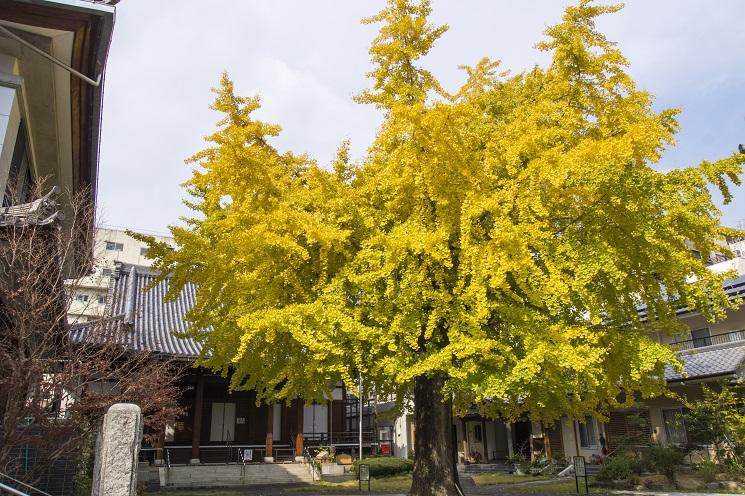 光永寺(長崎市桶屋町)の紅葉、イチョウ
