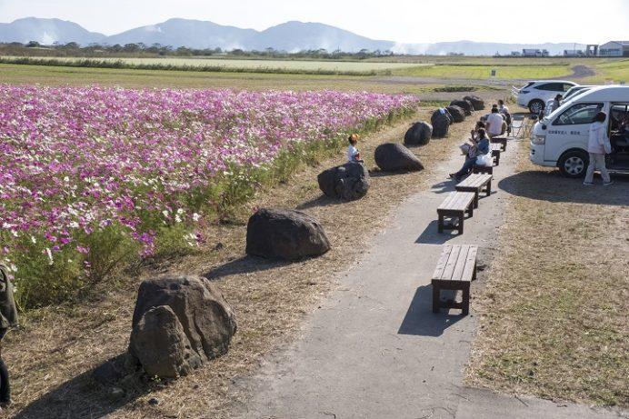自然干陸地フラワーゾーン(長崎県諫早市高来町)のコスモス