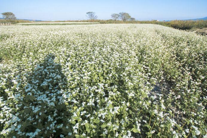 自然干陸地フラワーゾーン(長崎県諫早市高来町)のコスモス、そばの花