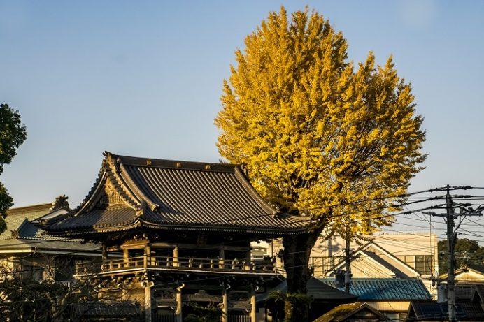 慶巌寺の紅葉(諫早市城見町)、イチョウ