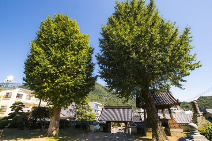 鶴城山教宗寺(長崎市矢上町)のイチョウ